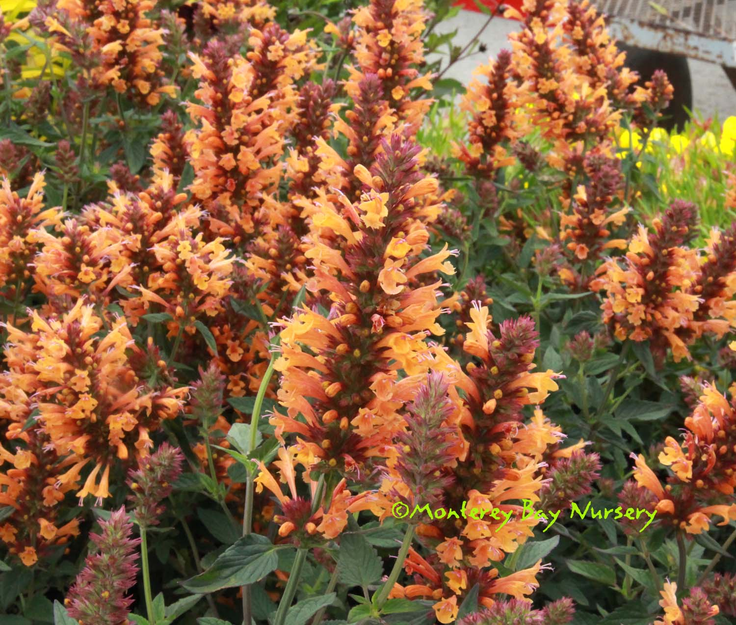 golden hummingbird mint