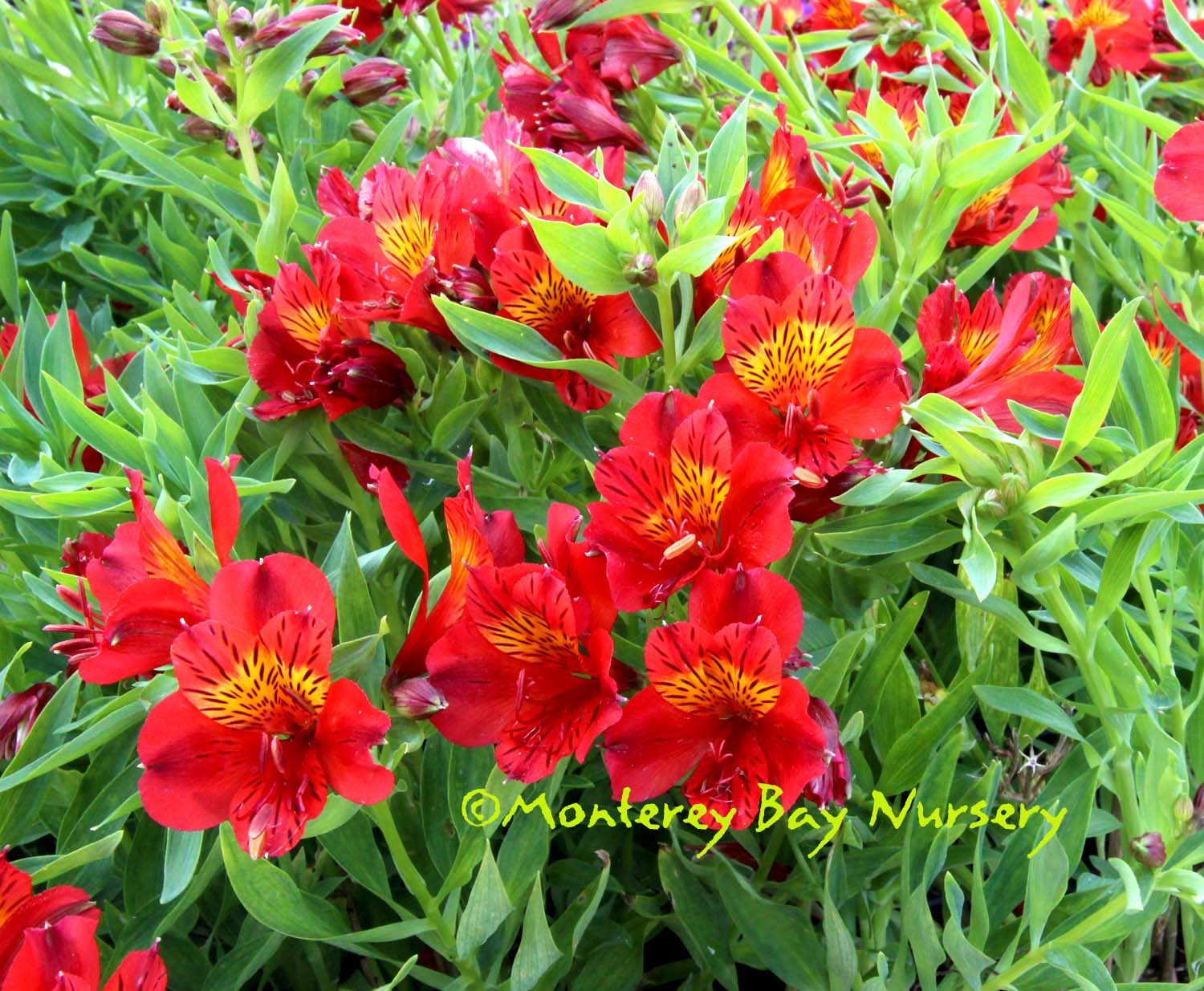 glowing red, cut-flower variety