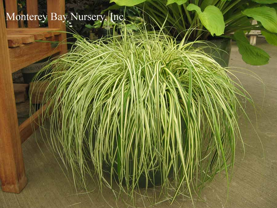 EUPHORBIA CHAR /'TASMANIAN TIGER/' Lovely Creamy White /& Grey-Green PLUG PLANT