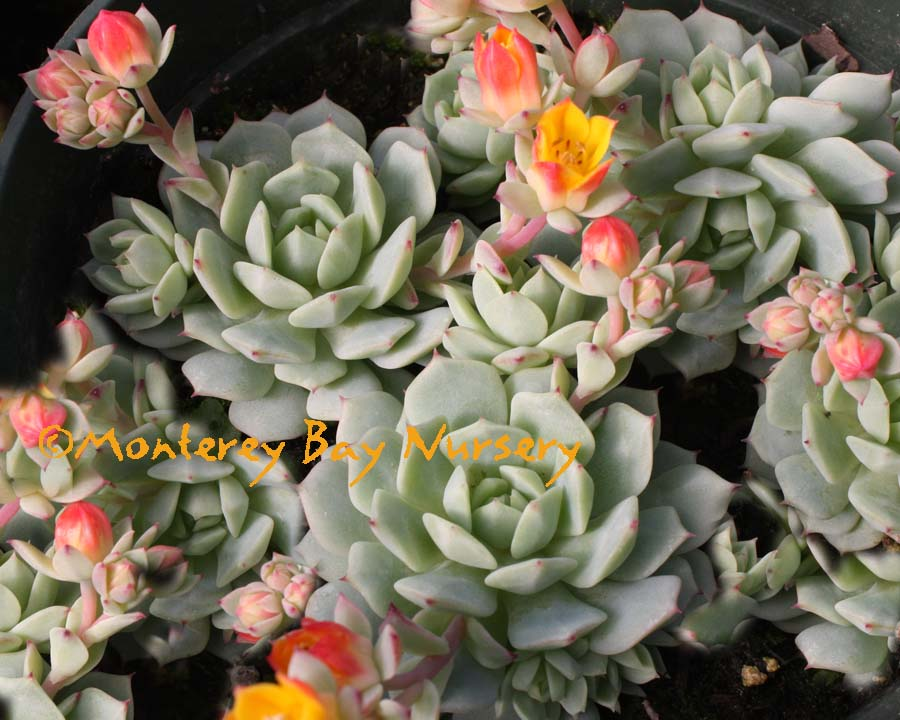 """Blooms reddish orange flowers. Echeveria Red Velvet shipped in a 4/"""" Pot"""