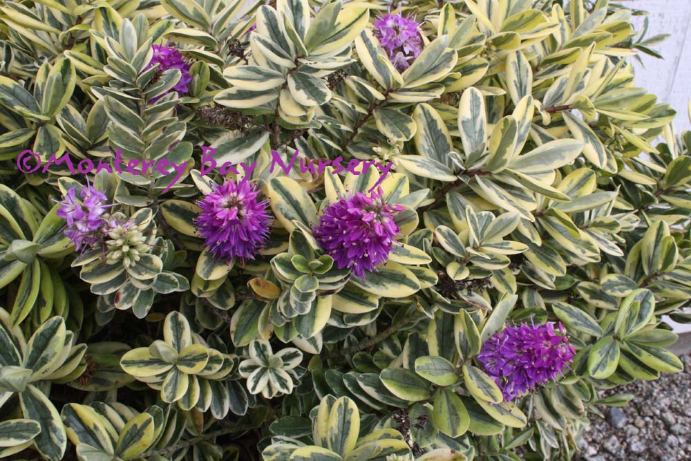Monterey Bay Nursery plants - H