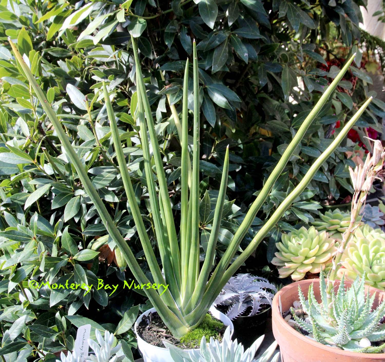 Molly's plant