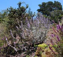 young plant, Cabrillo